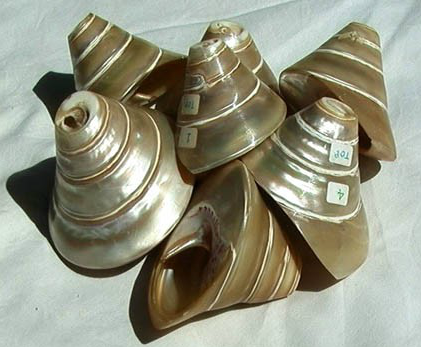 shell-trumpets-H1-H7